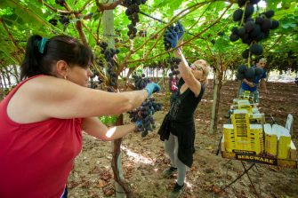 NOICATTARO, ITALY - AUGUST 20: Women work under the greenhouses to harvest black table grapes on August 20, 2020 in Bari, Italy. (Photo by Donato Fasano/Getty Images)