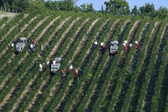 """A picture taken on September 15, 2020 shows people harvesting the vineyards of the Ricasoli wine estate at Castello di Brolio castle, the most extensive in the Chianti Classico area, in Gaiole in Chianti, Tuscany. - Two days before the coronavirus pandemic shut down Italy for two months, shattering wine exports and sales, the owner of one its most historic vineyards headed back into the country a worried man. Six months later Francesco Ricasoli and his wine-making team are leading the charge by Italy's """"Black Roosters"""", the trademark for Chianti Classico, to put the country's most famous label back on restaurant tables. (Photo by MIGUEL MEDINA / AFP) (Photo by MIGUEL MEDINA/AFP via Getty Images)"""