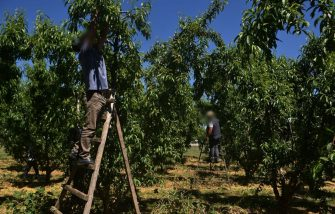 Albanian farm workers use ladders to pick peaches in an orchard on May 8, 2020, in Veria, northern Greece. - Albania supplies most of the thousands of seasonal labourers that normally work on Greek fruit farms, but this year, with coronavirus restrictions, the labour movement has been impeded. (Photo by Sakis MITROLIDIS / AFP) (Photo by SAKIS MITROLIDIS/AFP via Getty Images)