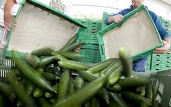 La distruzione di un raccolto di cetrioli in un'azienda agricola europea, in un'immagine d'archivio