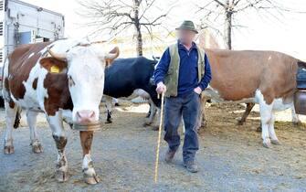 Allevatore con mucche durante una manifestazione