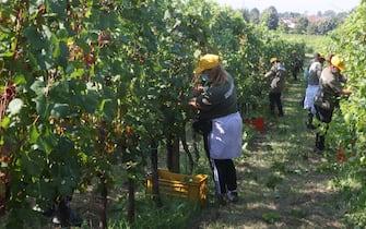 Lavoratori albanesi durante la vendemmia nell'azienda agricola Faccoli, Coccaglio (Brescia), 10 agosto 2020. Ansa/Filippo Venezia