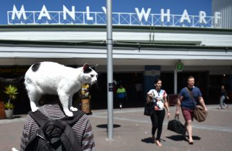 A pet cat travels on its owner's shoulders on their way to the ferry pier in the northern suburb of Manly in Sydney on October 31, 2016.  / AFP / PETER PARKS        (Photo credit should read PETER PARKS/AFP via Getty Images)