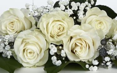 Rosa bianca cover