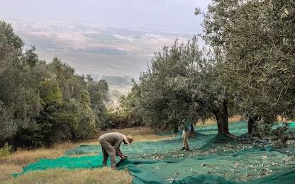 """Maltempo, Coldiretti: """"Sos sulla raccolta delle olive"""""""