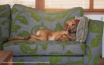 The Comedy Pet Photography Awards 2021 Anna Chambers Penrith United Kingdom Title: Paint me like one of your French girls! Description: Paddy, who is not allowed on the sofa but thinks he is. Does he care? nope :\ Animal: Vizslador Location of shot: Cumbria, England