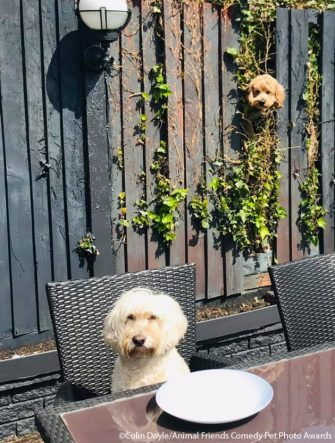 The Comedy Pet Photography Awards 2021 COLIN DOYLE bromsgrove United Kingdom Title: NOSY NEIGHBOUR Description: According to Ozzy we need a new fence panel ASAP. He is fed up with Chester our nosy next door neighbour spying on him every time he has a meal. Animal: DOGS Location of shot: GARDEN
