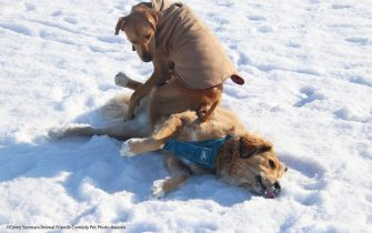 The Comedy Pet Photography Awards 2021 Corey Seeman Ypsilanti United States Title: A Warm Spot on a Cold Day Description: Two of the morning regulars at the dog park are Gary (hound mix with the jacket) and Kona - who is one of the most chill dogs ever.  Got this picture of Gary finding a warm place to sit on this cold winter's day - February 9th, 2021. Animal: Gary (Hound Mix) and Kona (Retriever mix) Location of shot: Swift Run Dog Park, Ann Arbor, Michigan.