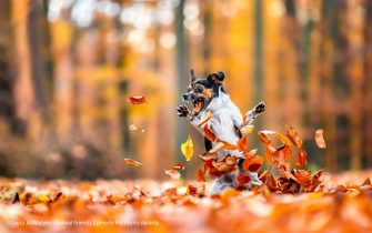 The Comedy Pet Photography Awards 2021 Diana Jill Mehner Wittenberge Germany Title: Crazy in love with fall Description: This is Leia. As you can see, she definitly love playing with all the leaves in autumn - and yes it was really tricky to take this picture because you never know where the dog will act and what it is going to do next :D Animal: Dog Location of shot: Paderborn