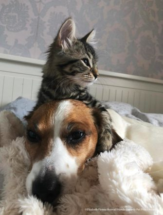 The Comedy Pet Photography Awards 2021 Elizabeth Finney Barnet United Kingdom Title: My big brother Description: Our kitten Lola just loves her brother snoopy so much she doesn't leave in alone! Animal: snoopy Location of shot: In the house