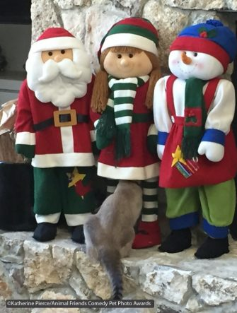 The Comedy Pet Photography Awards 2021 Katherine Pierce Alachua United States Title: Where Did Everybody Go? Description: Savi (the cat) checks out all aspects of the Christmas decorations. Animal: Savi a Tonkinese cat Location of shot: Alachua, Florida USA