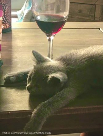 The Comedy Pet Photography Awards 2021 Kathryn Clark Chichester United Kingdom Title: Wine time! Description: It's that time of day again! Little Blue enjoys it almost as much as me :-) Animal: Blue Location of shot: Home
