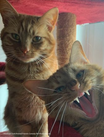 The Comedy Pet Photography Awards 2021 Kathryn Trott Ystradgynlais Email: trottkj@aol.com Title: Photobomb Description: Jeff stealing the limelight from his brother Jaffa. Animal: Jaffa and Jeff Location of shot: Home