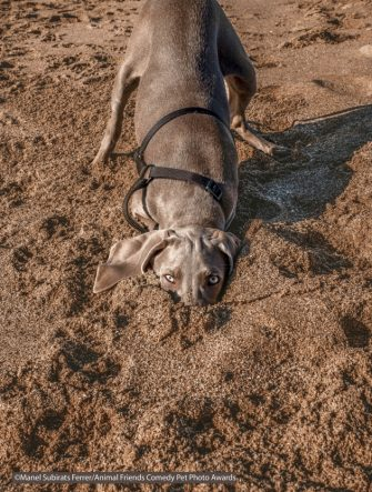 The Comedy Pet Photography Awards 2021 Manel Subirats Ferrer Barcelona Spain Title: Ostrich style Description: Little Nuka playing hide and seek one day at the beach Animal: Nuka - Weimaraner dog Location of shot: Platja del Prat de Llobregat (Catalonia)