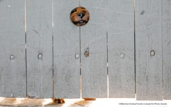 The Comedy Pet Photography Awards 2021 Millie Kerr London United Kingdom Title: Peep Hole Description: Someone in my parents' neighborhood in San Antonio, Texas, put in a peep hole for their terrier so it can look through the fence! I love passing by and seeing its adorable face peering at me. Animal: Dog Location of shot: San Antonio, Texas