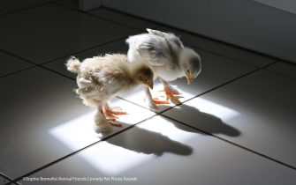 """The Comedy Pet Photography Awards 2021 Sophie Bonnefoi Oxford United Kingdom Title: The Eureka Moment ! Description: Cutie and Speedy are 2 chicks hatched from eggs placed in an incubator at home in August 2020. They spent their first few weeks indoors. On the photo they are just over 2 weeks old. They were curious about everything. This is the day they discovered their own shadow. It was hilarious to see them wondering and exploring that """"dark thing"""" that was moving with them ! Animal: 2 chicks, a male and a female Location of shot: My kitchen"""