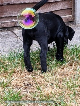 The Comedy Pet Photography Awards 2021 Zoe Ross Penkridge United Kingdom Title: Whizz pop Description: Playing with bubbles in the garden  I think I may of swollen one Animal: Labrador puppy Location of shot: In my garden