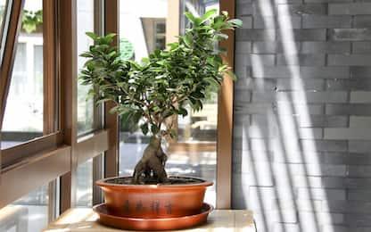 Bonsai ficus ginseng, 5 consigli per prendersene cura