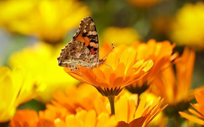 Calendula, proprietà e come coltivarla: la guida