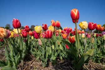 HILLEGOM, NETHERLANDS - APRIL 17: Tulips are seen in the flower fields at tulip farm Hulsebosch amid the coronavirus outbreak on April 17, 2020 in Hillegom, Netherlands. Because of the current crisis, flower farms can only supply limited amounts of flowers to the flower auction in Aalsmeer and growers got stuck with large bathces they even had to destroy. That is why farm owner Mathijs Hulsebosch started selling his daily fresh tulips directly via facebook which are then delivered throughout The Netherlands or to be picked up at the farm. (Photo by Helene Wiesenhaan/BSR Agency/Getty Images)