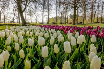 LISSE, NETHERLANDS - APRIL 2: Tulips are in full bloom at the Keukenhof, the world's largest flower and tulip garden on April 2, 2020 in Lisse, Netherlands. Due to coronavirus the garden will not open but will go online in a virtual tour. There have been over 25,000 reported COVID-19 cases in The Netherlands and more than 2700 related deaths. (Photo by Laurens Lindhout/Soccrates Images/Getty Images)