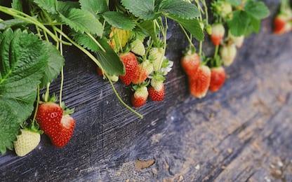 Come coltivare le fragole in vaso, la nostra guida