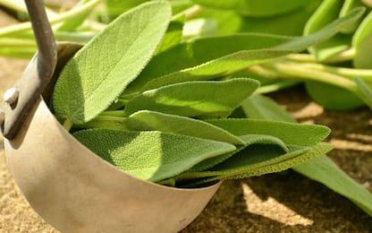 Salvia, come coltivarla in casa in vaso o in terra: la guida