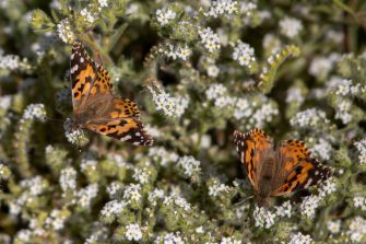 THOUSAND PALMS, CA - MARCH 09: Painted lady butterflies pause to feed on the nectar of California's second 'super bloom' in two years during a rare mass migration triggered by recent abundant rainfall on March 9, 2019 near Thousand Palms, California. A wet winter with a possible link to the El Niño climate pattern fueledvegetation growth in northern Mexico, giving painted ladycaterpillars an abundant food supply and causing millions of the resulting butterflies to embark on a one-way migration to the Northwest and Canada. The butterflies are expected to pass through the region for just a few weeks.   (Photo by David McNew/Getty Images)