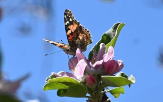 Painted Lady butterflies, some of about 1 billion who are swarming through the skies of southern California during their migration north from Mexico, feed on apple blossom flowers in Glendale, California, March 13, 2019. - Scientists say the migration isn not new, but they have not seen numbers like this in almost 15 years, attributing the event to the unusual amount of rain in the region is year. (Photo by Robyn Beck / AFP)        (Photo credit should read ROBYN BECK/AFP via Getty Images)