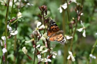 Painted Lady butterflies, some of about 1 billion who are swarming through the skies of southern California during their migration north from Mexico, feed on arugula flowers in Glendale, California, March 13, 2019. - Scientists say the migration isn not new, but they have not seen numbers like this in almost 15 years, attributing the event to the unusual amount of rain in the region is year. (Photo by Robyn Beck / AFP)        (Photo credit should read ROBYN BECK/AFP via Getty Images)