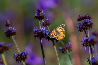 LAKE ELSINORE, CA - MARCH 15: A painted lady butterfly feeds from a chia flower while migrating through chaparral brush that was burned away by the Holy Fire, as the so-called super bloom spreads across the region on March 15, 2019 in Lake Elsinore, California. Abundant winter rains have lifted the state from drought, sparked spectacular blooms of wildflowers and sparked a rare mass migration of painted lady butterflies bound for the Northwest and Canada from northern Mexico.   (Photo by David McNew/Getty Images)