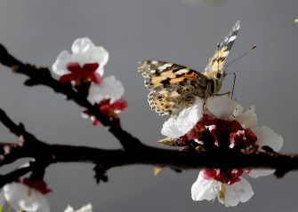 A butterfly is seen resting on a an almond flower in the valley of Bisri, south of the Lebanese capital Beirut on March 20, 2019. (Photo by JOSEPH EID / AFP)        (Photo credit should read JOSEPH EID/AFP via Getty Images)