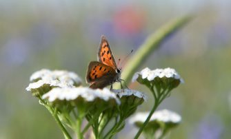 A butterfly is seen on a flower in a summer meadow on July 22, 2019 near the small Bavarian village of Eichenau, southern Germany. (Photo by Christof STACHE / AFP)        (Photo credit should read CHRISTOF STACHE/AFP via Getty Images)