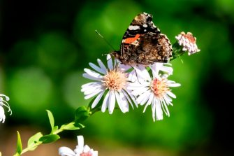 A picture taken on October 15, 2018 in Saint-Philbert-sur-Risle, northern France, shows a Vanessa Atalanta butterfly on a flower. (Photo by JOEL SAGET / AFP)        (Photo credit should read JOEL SAGET/AFP via Getty Images)