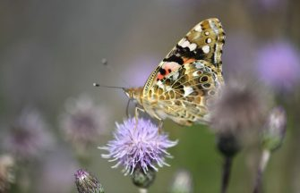 A butterfly sits on a flower on July 25, 2019 in Kleinenberg, western Germany. (Photo by INA FASSBENDER / AFP)        (Photo credit should read INA FASSBENDER/AFP via Getty Images)