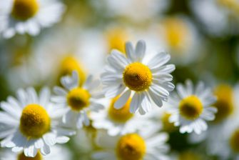 Camomile blossoms stand in full bloom on a field in Kamen, western Germany, on June 12, 2020. (Photo by Ina FASSBENDER / AFP) (Photo by INA FASSBENDER/AFP via Getty Images)