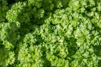 PFULLENDORF, GERMANY - JULY 27: (BILD ZEITUNG OUT) A parsley shrub is seen on July 27, 2020 in Pfullendorf, Germany. (Photo by Harry Langer/DeFodi Images via Getty Images)