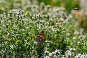 A butterfly and bees fly in a field with thyme that Areti Zaharopoulou, 57, cultivates outside the village of Derveni, some 140 kilometres southwest of Athens, on June 12, 2019. - On the heights of the Gulf of Corinth, this accountant reconverted farmer cultivates aromatic herbs, an alternative solution to deal with the economic downturn for which she blames the political class, twenty days ahead of parliamentary elections in Greece. (Photo by ARIS MESSINIS / AFP)        (Photo credit should read ARIS MESSINIS/AFP via Getty Images)