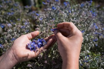 ANNECY, FRANCE - MAY 08: Chef Nicolas Guignard from Brasserie Brunet picks up borage flowers to be added to the lakeside hotpots meals at 'Le Clos des Sens' restaurant on May 08, 2020 in Annecy-le-Vieux, France. Three Michelin starred restaurant 'Le Clos des Sens' is producing 300 take-away meals for Saturdays due to the restaurant closures during France's lockdown. The Coronavirus (COVID-19) pandemic has spread to many countries across the world, claiming over 246,000 lives and infecting over 3.5 million people. (Photo by Richard Bord/Getty Images)