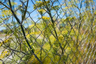 Textured image of wild fennel growing up a chain link fence in the Mission Bay neighborhood of San Francisco, California, June, 2016. (Photo by Smith Collection/Gado/Getty Images).