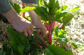 FORRES, SCOTLAND - MAY 16: A gardener harvests beet greens at the Cullerne Gardens of Findhorn Foundation's Park Ecovillage on May 16, 2018 in Forres, Scotland, United Kingdom. The Findhorn Foundation has two main sites: The Park next to Findhorn Village and Cluny Hill in Forres. The foundation is a spiritual community, an ecovillage and a learning centre, offering a broad range of holistic workshops and events, as they work in co-creation with the intelligence of nature.  (Photo by Yuriko Nakao/Getty Images)