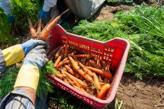 ZAPPONETA, ITALY - MAY 29: A basket full of freshly harvested carrots from a field on May 29, 2020 in Zapponeta, Italy. The carrots of Zapponeta, recognized as Apulian Traditional Agri-Food Product, are grown in the Zapponeta area in the province of Foggia. (Photo by Donato Fasano/Getty Images)