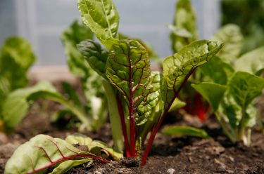 Boston, MA - May 26: Baby leaf Swiss chard are seen at We Grow Microgreens in Bostons Hyde Park on May 26, 2021. (Photo by Jessica Rinaldi/The Boston Globe via Getty Images)