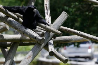 May 12, 2020; Richmond, VA, USA; A siamang monkey sits on a house as cars drive by while taking a drive-thru tour at Metro Richmond Zoo. After a shutdown caused by the COVID-19 pandemic, the zoo received permission form the office of Governor Ralph Northam (not pictured) to create a new, temporary experience allows for easy social distancing. Mandatory Credit: Geoff Burke-USA TODAY NETWORK/Sipa USA (Geoff Burke / IPA/Fotogramma, Richmond - 2020-05-12) p.s. la foto e' utilizzabile nel rispetto del contesto in cui e' stata scattata, e senza intento diffamatorio del decoro delle persone rappresentate