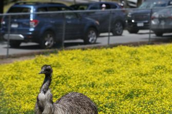 May 12, 2020; Richmond, VA, USA; An emu stands in a field as vehicles drive past while taking a drive-thru tour at Metro Richmond Zoo. After a shutdown caused by the COVID-19 pandemic, the zoo received permission from the office of Governor Ralph Northam (not pictured) to create a new, temporary experience allows for easy social distancing. Mandatory Credit: Geoff Burke-USA TODAY NETWORK/Sipa USA (Geoff Burke / IPA/Fotogramma, Richmond - 2020-05-12) p.s. la foto e' utilizzabile nel rispetto del contesto in cui e' stata scattata, e senza intento diffamatorio del decoro delle persone rappresentate