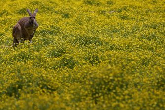 May 12, 2020; Richmond, VA, USA; A kangaroo stands in a field as vehicles take a drive-thru tour at Metro Richmond Zoo. After a shutdown caused by the COVID-19 pandemic, the zoo received permission from the office of Governor Ralph Northam (not pictured) to create a new, temporary experience allows for easy social distancing. Mandatory Credit: Geoff Burke-USA TODAY NETWORK at Metro Richmond Zoo. Mandatory Credit: Geoff Burke-USA TODAY NETWORK/Sipa USA (Geoff Burke / IPA/Fotogramma, Richmond - 2020-05-12) p.s. la foto e' utilizzabile nel rispetto del contesto in cui e' stata scattata, e senza intento diffamatorio del decoro delle persone rappresentate