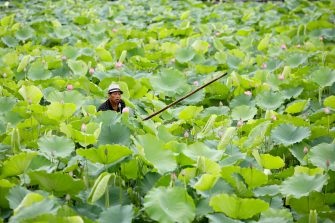 epa08446314 A man collects lotus flowers at a lake in Hanoi, Vietnam, 27 May 2020. Traditions sees for Vietnamese people use the inner parts of the lotus to mix with tea in oder to get a unique fragrance. Lotus flower season is usually from late May through to August.  EPA/LUONG THAI LINH