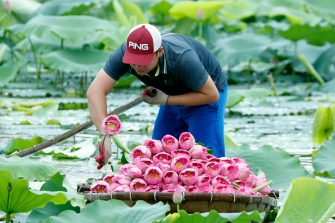 epa08446319 A man collects lotus flowers at a lake in Hanoi, Vietnam, 27 May 2020. Traditions sees for Vietnamese people use the inner parts of the lotus to mix with tea in oder to get a unique fragrance. Lotus flower season is usually from late May through to August.  EPA/LUONG THAI LINH