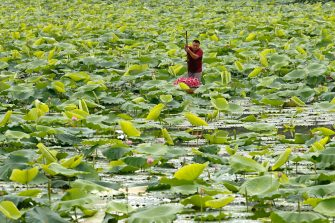epa08446320 A man collects lotus flowers at a lake in Hanoi, Vietnam, 27 May 2020. Traditions sees for Vietnamese people use the inner parts of the lotus to mix with tea in oder to get a unique fragrance. Lotus flower season is usually from late May through to August.  EPA/LUONG THAI LINH