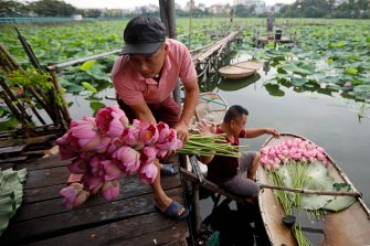 epa08446329 Men collect lotus flowers at a lake in Hanoi, Vietnam, 27 May 2020. Traditions sees for Vietnamese people use the inner parts of the lotus to mix with tea in oder to get a unique fragrance. Lotus flower season is usually from late May through to August.  EPA/LUONG THAI LINH